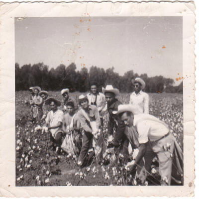 Braceros pick cotton in Arkansas in this undated photograph. Photo courtesy of the University of Texas-El Paso, Institute of Oral History.