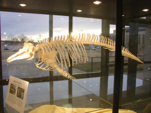 "A porpoise skeleton is on display in ASU's ""Hall of Science,"" located in the Laboratory Sciences Center, East Wing."
