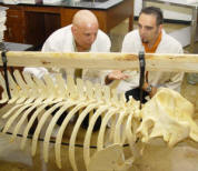 Dr. Romero shown here with another student examining a whale skeleton