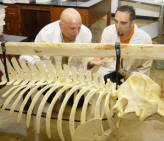 Dr. Romero, on left, observes Whale skeleton with graduate student recently.